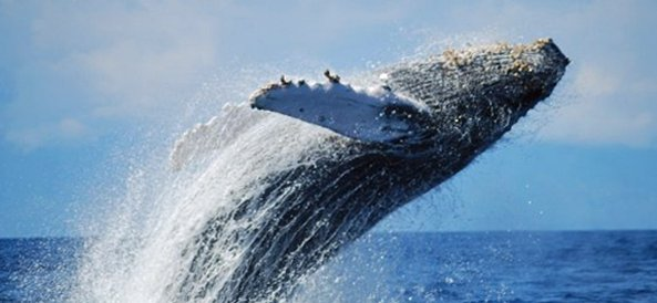 humpback whale in national marine sanctuary