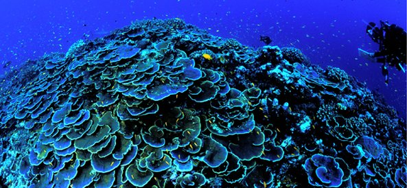 Coral Conservation » Marine Conservation Institute