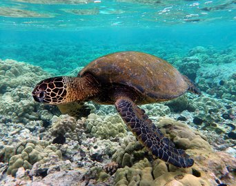 Green_turtle_swimming_over_coral_reefs_in_Kona.jpg