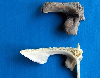 Butchered archaeological grouper bones ---2700 years ago, Iskenderun Bay, with a modern specimen as comparison.
