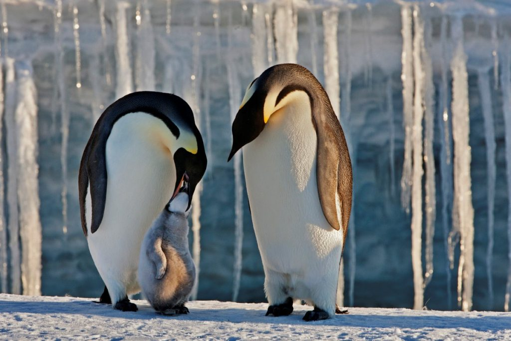 From Paul Nicklen: Emperor penguin parents care for their newborn.