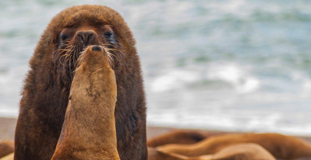 From Daniel Fox: Sea lions 'kiss' as they soak up warm beach rays