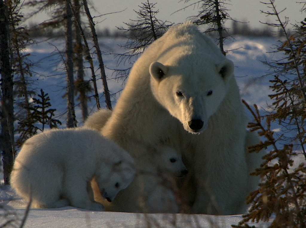 From Andy Brandy Casagrande IV: A mamma polar bear comforts her two cubs.