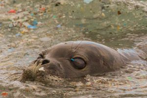 A Monk Seal Pup Swims through marine debris. Credit: Daniel Fox