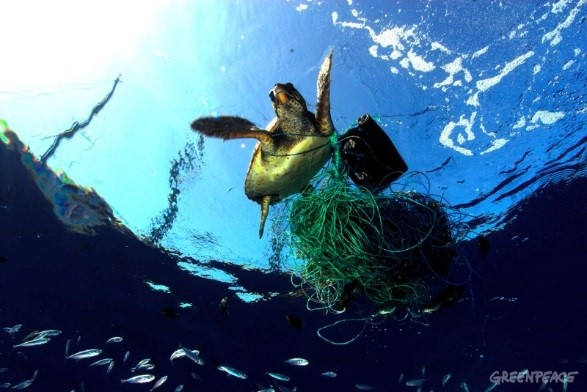 An endangered loggerhead sea turtle struggles in a cluster of net and marine debris in the Mediterranean Sea. Photo: Greenpeace/ Caré Marine Photobank