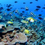 Clouds of reef fish and corals, French frigate shoals, NWHI