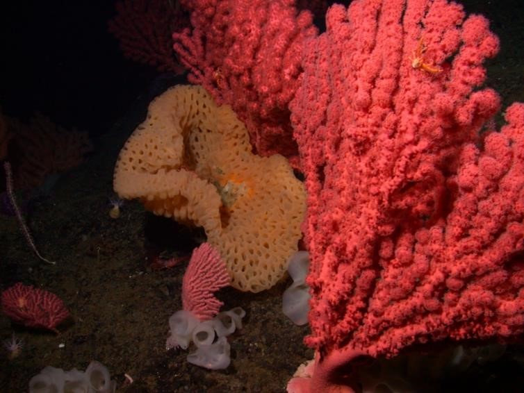 Deep-sea coral and sponge community on Rodriguez Seamount (courtesy of MBARI)
