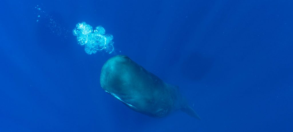Dominica Sperm Whales