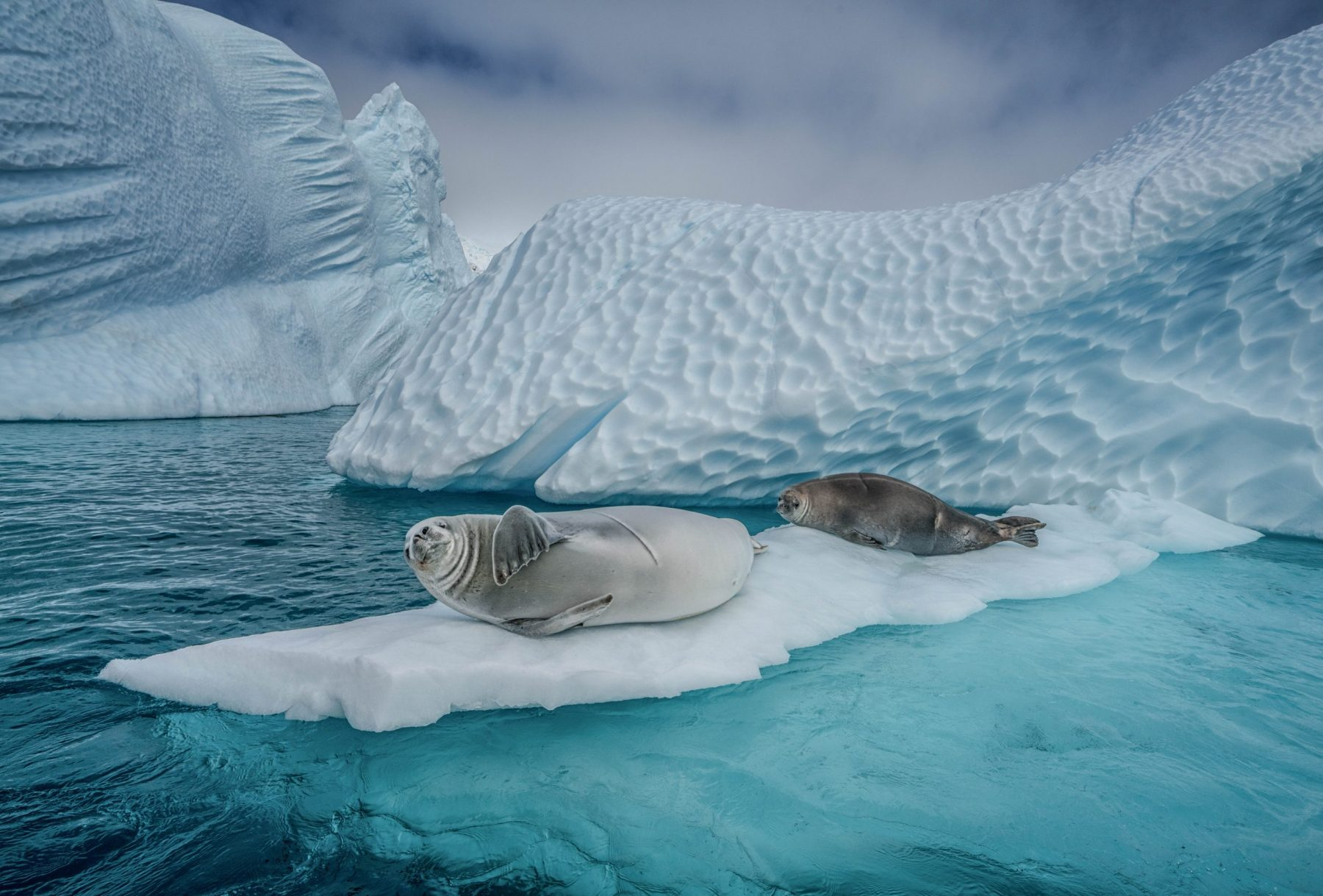 Crabeater seals and icebergs, Cuverville